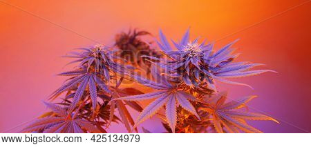 Marijuana Plants Long Banner. Beautiful Tropical Cannabis Background. New Look On Agricultural Strai