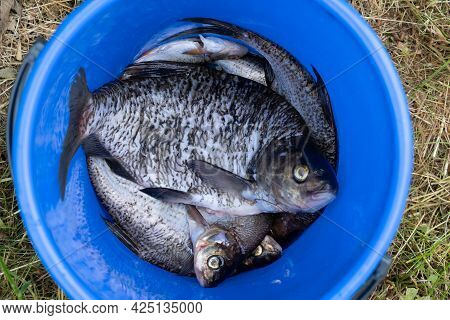 Several Medium-sized Bream, Peeled Off The Scales, Lie In A Blue Plastic Bucket. View From Above. Gr