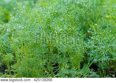 Fresh Dill (anethum Graveolens) Growing On The Vegetable Garden. Growing Fresh Herbs. Green Plants I