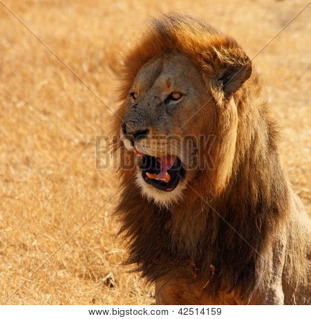 Lion Talking