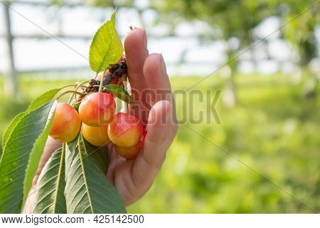 Ripe Cherries On A Branch With Leaves In A Female Hand. Hands With Cherries. Picking Cherries And Ch