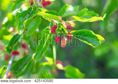 Fresh Mulberries On The Tree, Red Unripe Mulberries On The Branch. Delicious Fruits In The Garden.