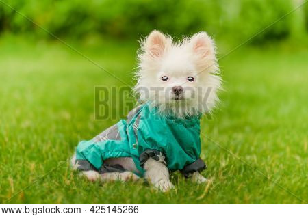 Pomeranian Puppy With Clothes. White Spitz Puppy In Clothes On The Grass. Dog In A Green Raincoat.