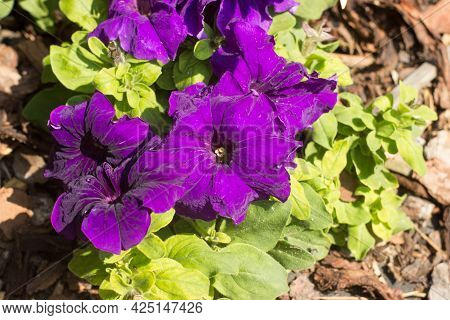 Beautiful Purple Petunia With Leaves In The Garden