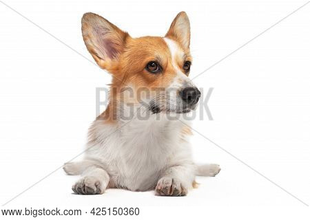 Cute Obedient Welsh Corgi Pembroke Or Cardigan Lies Funny Spread Hind Paws Isolated On White Backgro