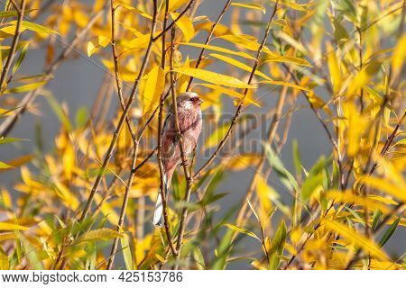 The Long-tailed Rosefinch, Carpodacus Sibiricus Sitting On A Tree Branch In The Autumn Sunny Day. Th