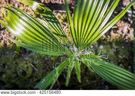 Top View Of Saw Palmetto, Green Palm Leaves Close Up, Abstract Leaves Texture. Selective Focus.