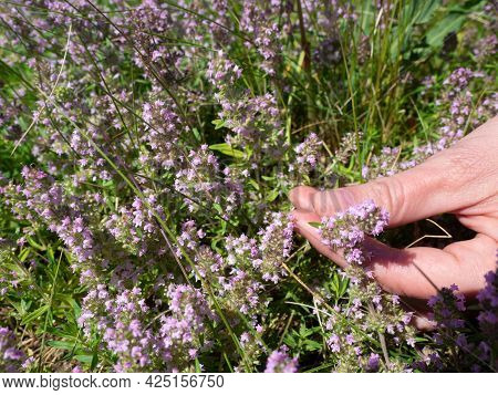 Wild Thyme Picking. Human Hand Plucks A Twig, Close Up, Selected Focus.