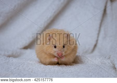 A Beige Fluffy Hamster Sits On A Background Of White Draped Fabric