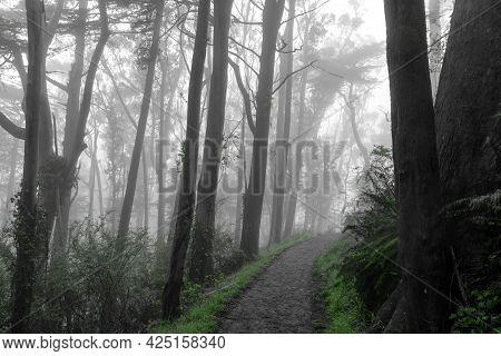 Trail Crossing Blue Gum Eucalyptus Forest In Summer Fog. Mount Davidson, San Francisco, California,