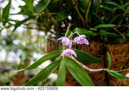 Dendrobium Noble. Flowers Of The Genus Orchids.