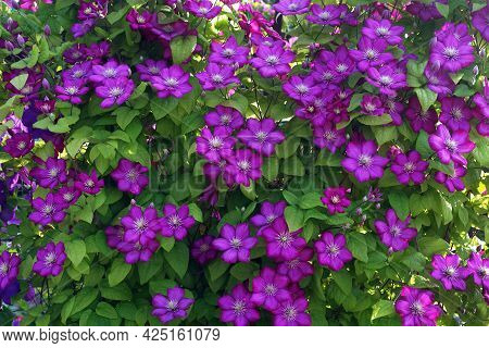 Purple Clematis Flower On The Vine. Blooming Clematis In The Garden