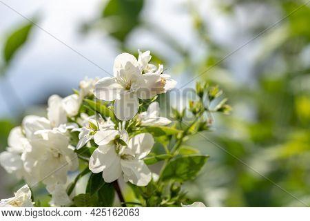White Jasmine Flowers On A Bush, Jasmine Branch Close Up