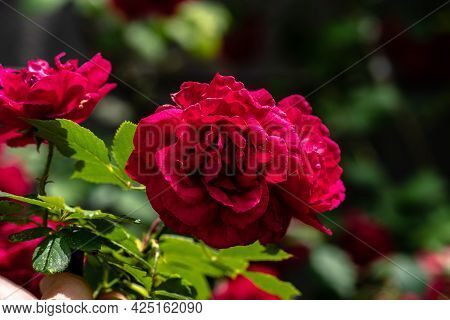 Macro Shot Of Red Rose In A Garden, Copy Space