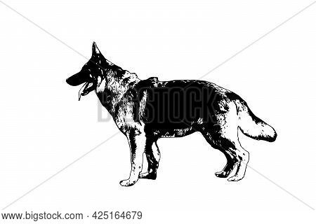 Black And White Profile Of A German Shepherd. Adult Dog Standing With Mouth Open And Tongue Hanging