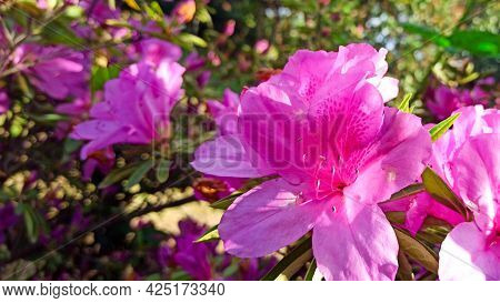 Pink Azalea Blooms On A Green Background. Tropical Flower Grows In A Tropical Garden