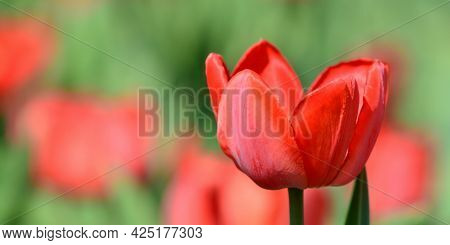 Panoramic Photo Of A Red Tulip On A Blurred Background. Spring Time. May. Gardening And Flower Breed