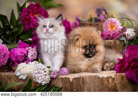 cat and dog, Pomeranian Spitz red color and White kitten