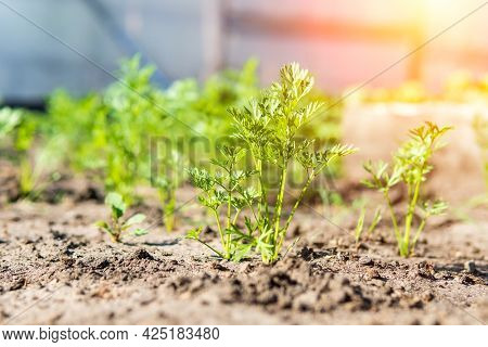Growing Carrots In A Vegetable Field In The Open Field. Carrot Growing Field. Agricultural Industry.