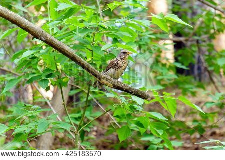 Song Thrush Turdus Philomelos Is A Little And Beautiful Bird Of The Family Of Turdidae. Selective Fo