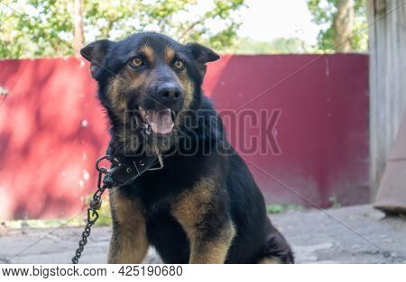 A Kind Purebred Dog On A Chain In The Yard In The Village. A Domestic Guard Animal On The Street In