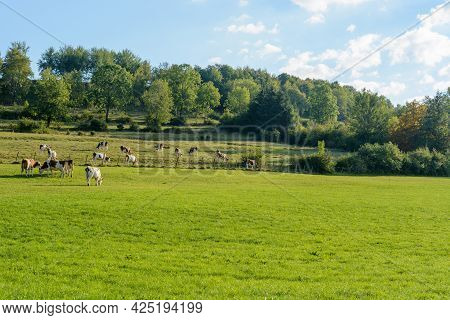 Herd Of Cows In A Pasture In France.