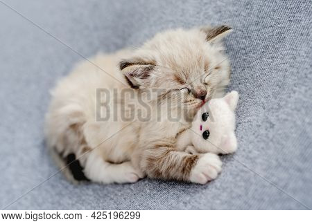 Adorable little ragdoll kitten sleeping hugging knitted toy on light blue fabric during newborn style photoshoot in studio. Cute napping kitty cat portrait