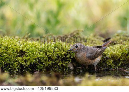 Common Redstart Phoenicurus Phoenicurus Is A Songbird.