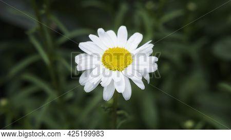 Chamomile Flower. Extreme Close-up Daisy Camomile Single Flower Fullframe Macro View. Beautiful Cham