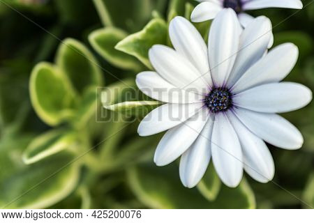 White Cape Marguerite Flower Blooming Outdoors In Sunny Day.