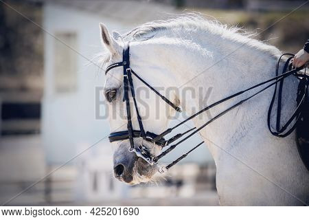 Portrait Sports Gray Stallion In The Double Bridle. Dressage Of Horses. Equestrian Sport. Horseback