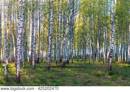 Spring Birch Grove Or Forest With Young Green Leaves In The Bright Light Of The Evening Sun.