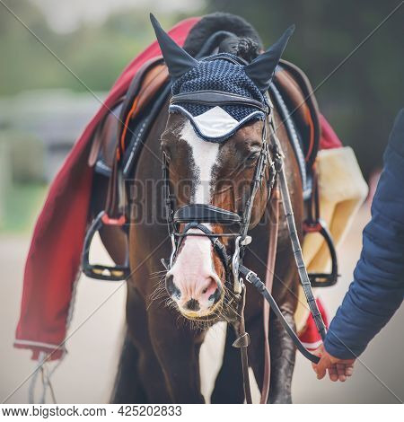 A Man In A Blue Jacket Leads A Bay Horse With A Leather Saddle And A Red Horse Blanket On Its Back B