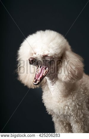 Portrait Of A White Small Poodle. Dog Yawns On Black Background. Beautiful Pet In Studio