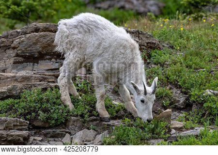 Mountain Goat Kid Grazes In Rocky Field In Glacier National Park's High Mountain Area