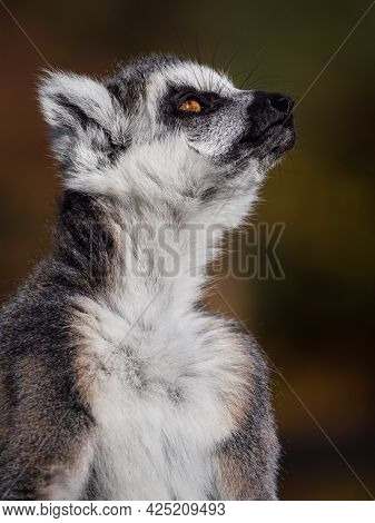 Close Up Of A Ring-tailed Lemur Who Looks Around Him