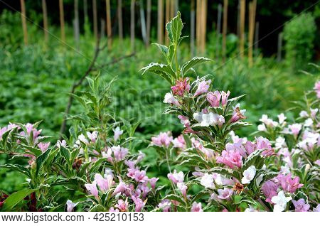 Is An Attractive Variety Of Vajgélie With Deep Purple-red, Tubular Flowers. The Leaves Are Freshly G