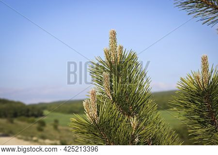 Young Shoots Of The Austrian Pine (pinus ) Is A Large Evergreen Coniferous Tree.