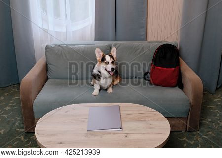 Welsh Corgi Pembroke Tricolor Is Resting In Dog Friendly Hotel And Enjoying Life. Corgi Traveler Sit