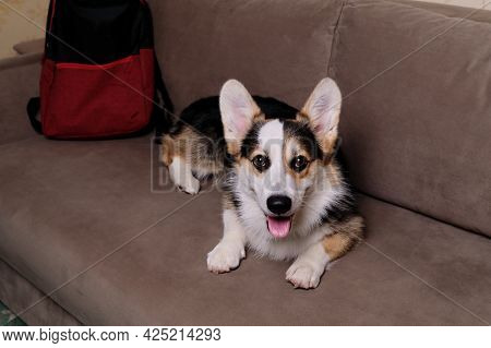 Corgi Dog Traveler Lies And Rests On Light Brown Comfortable Sofa And Advertises Motel For Relaxing