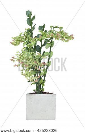 Candelilla, Tall Slipper Plant Or Slipper Spurge Bloom In Pot Isolated On White Background Included