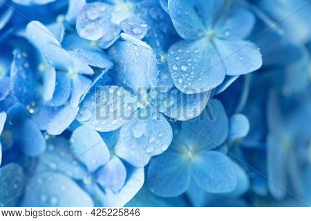 Something blue. Hydrangea (Hydrangea macrophylla) or Hortensia flower in light soft blue color with dew.  Shallow depth of field for soft dreamy feel.