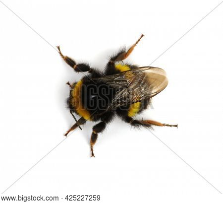Bumblebee (Bombus) insect isolated on white background