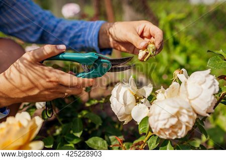 Woman Deadheading Dry Wilted Roses In Summer Garden. Gardener Cutting Dry Flowers Off With Pruner. C