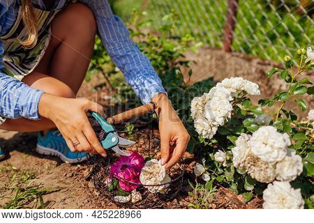 Woman Deadheading Spent Rose Blooms In Summer Garden. Gardener Cutting Dry Flowers Off With Pruner A