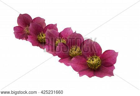 Red Hellebore Flower Isolated On White Background