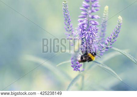 Cute Bumblebee Sprinkles Purple Flower Close Up.