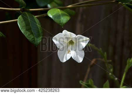 White Trumpet Flower Of Night Blooming Jasmine Plant With Vine. Also Known As Nicotiana Alata, Persi