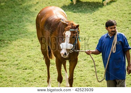 Indian Racehorse with Bindi