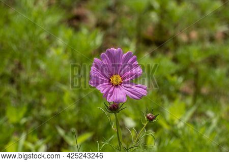 A Single Pink Cosmos Flower In Bloom With A Yellow Center And Buds In A Field Closeup View On A Sunn